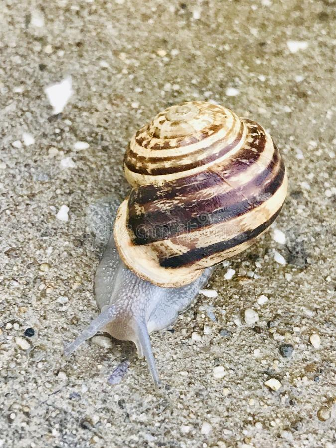 Save Download Preview Snail crawling on the stone flooring. Burgundy snail, Helix, Roman snail, edible snail or escargot crawlin. Brown wet snail after ran on royalty free stock image