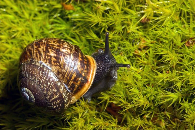 Snail. Closeup of A black snail on green grass royalty free stock photos
