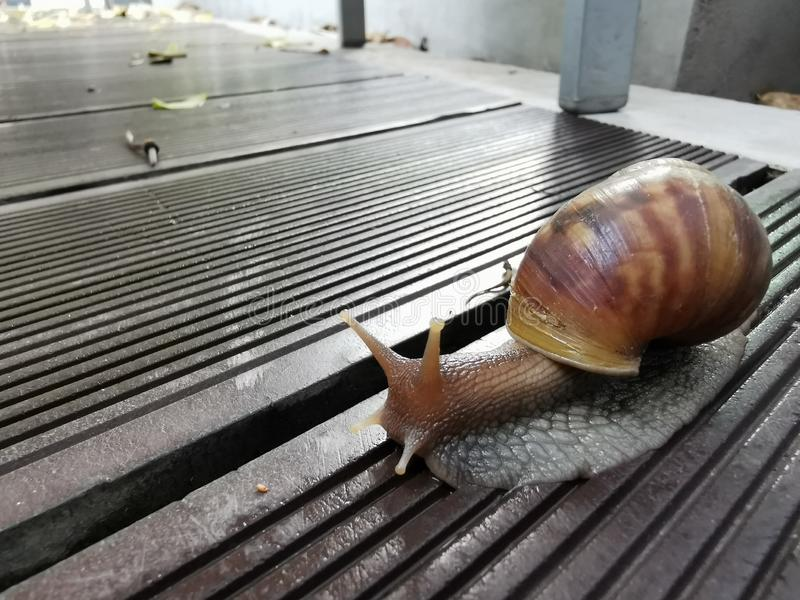 Snail closeup. On footpath Roman snail royalty free stock photo