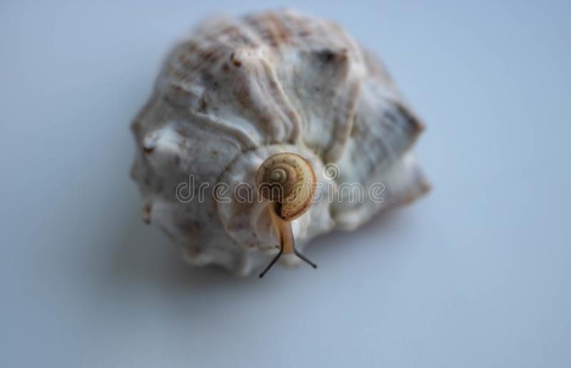 Snail in closeup on white background shell sea. Closeup nature royalty free stock images