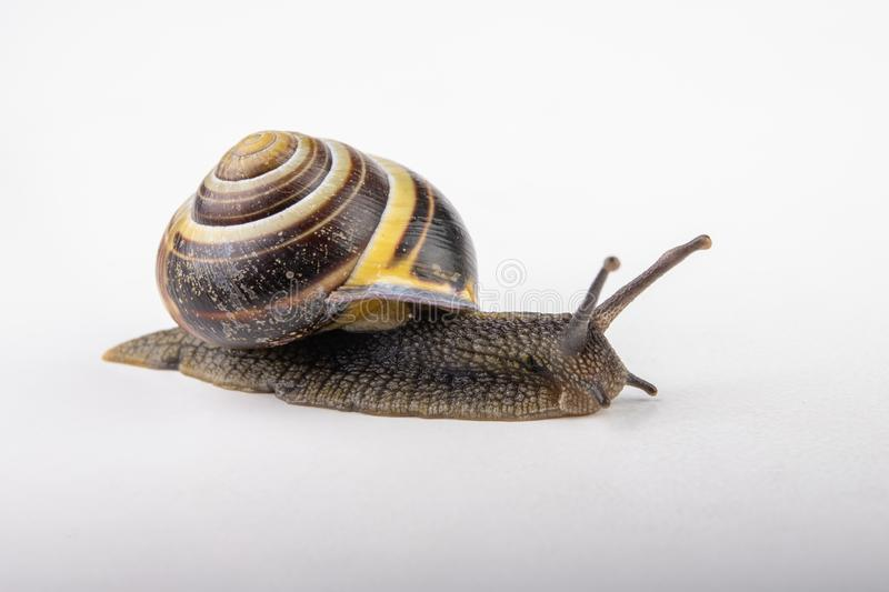 Snail with a colorful shell on a white table. Garden snail with advanced feelers stock photography