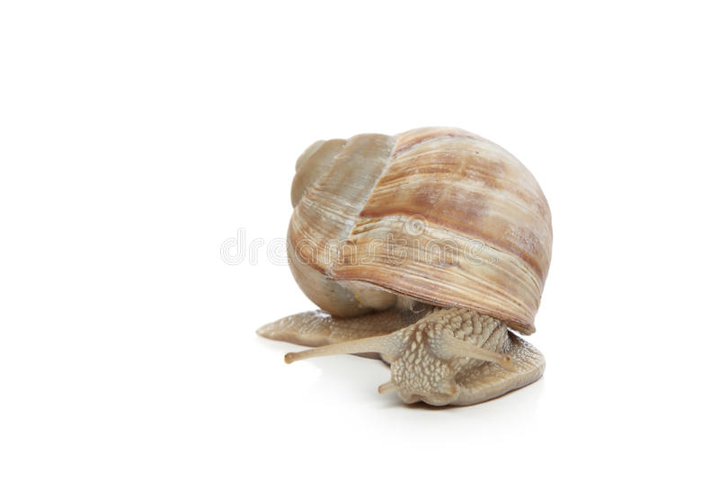 Download Snail crawling stock image. Image of insect, pomatia - 20016039