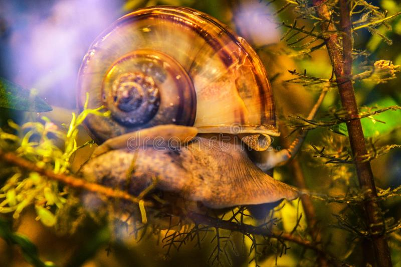 Snail crawling on algae under water. In the aquarium stock image