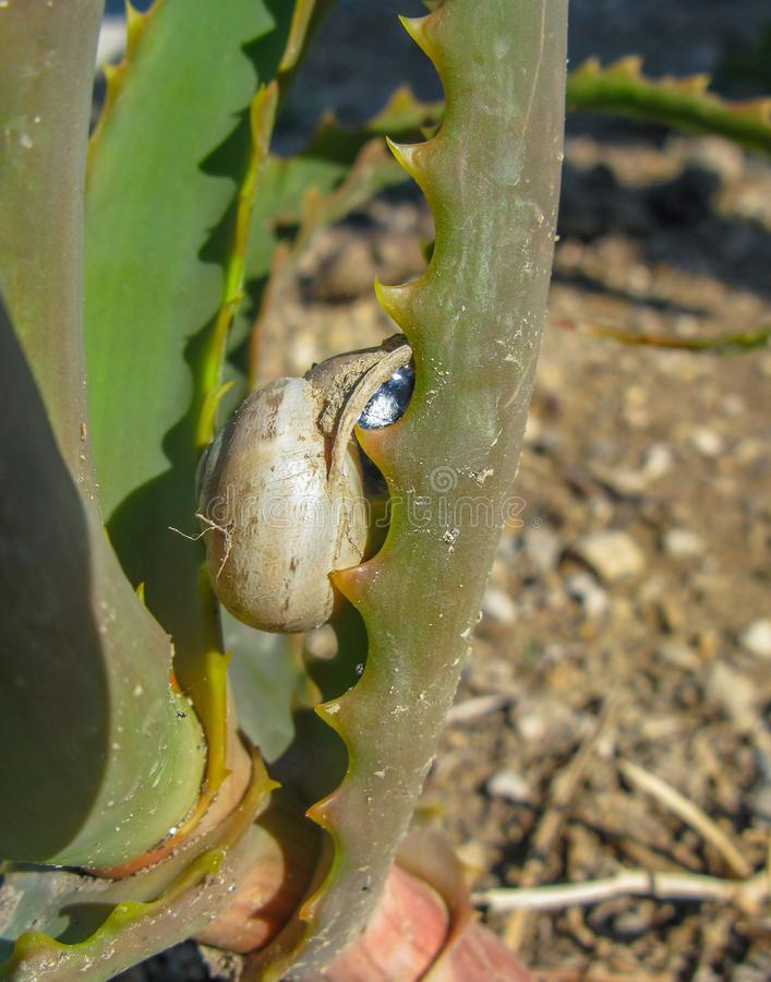 Snail crawling on aloe leaf stock photography