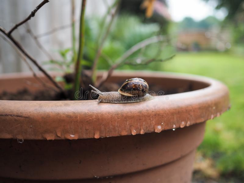 Snail crawling along a wet plant pot stock photography
