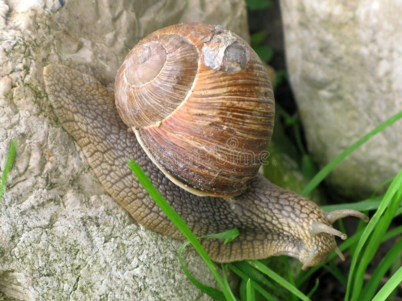 Snail crawling royalty free stock photo