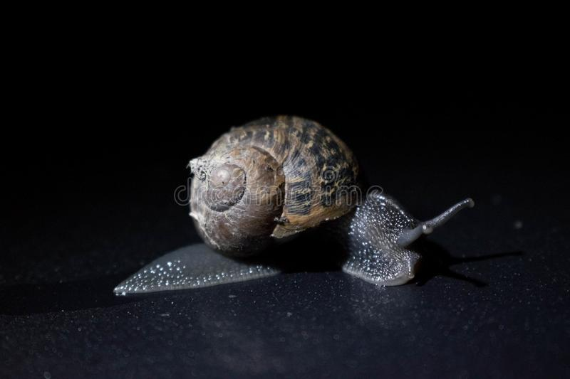 Snail crawling in the dark. stock photo