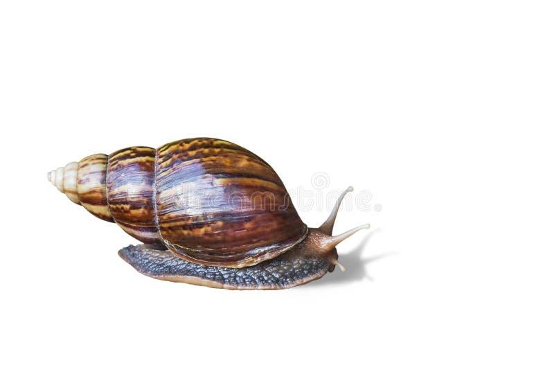 Snail crawling on white background stock image