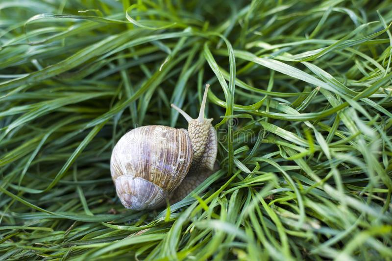 Snail crawling in the green grass on the lawn, love of nature royalty free stock photos