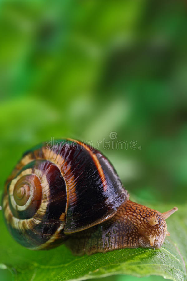 Snail crawling on green leaf stock photography