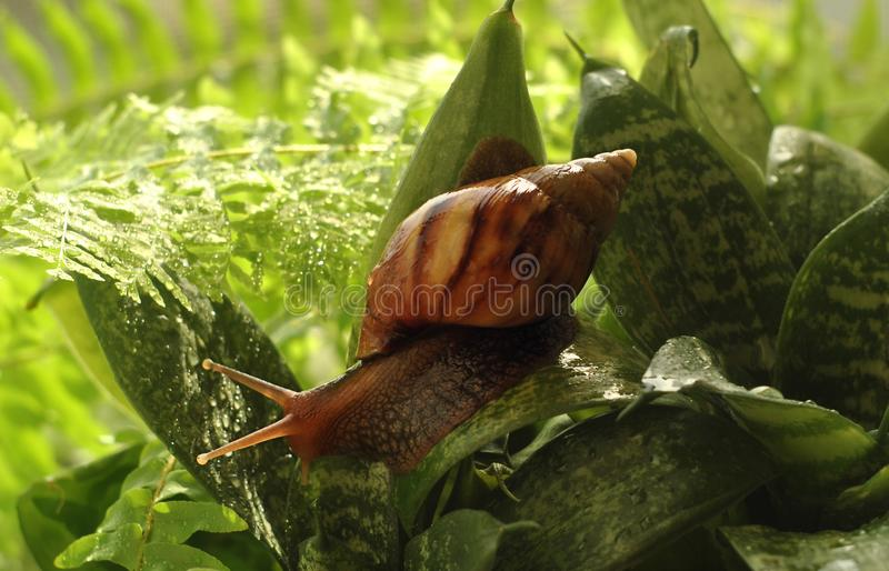 Snail crawling on green leaves and water drops. Close-up stock photography