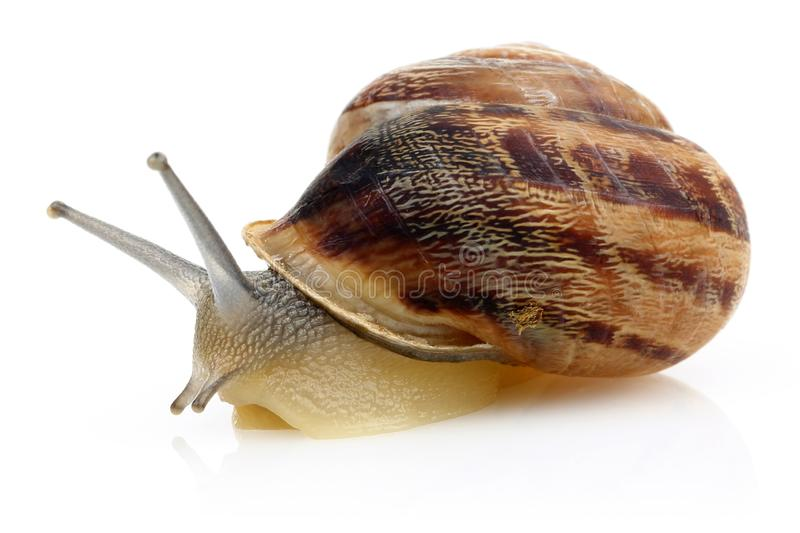 Snail crawling isolated on white stock images
