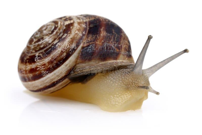 Snail crawling isolated on white royalty free stock image