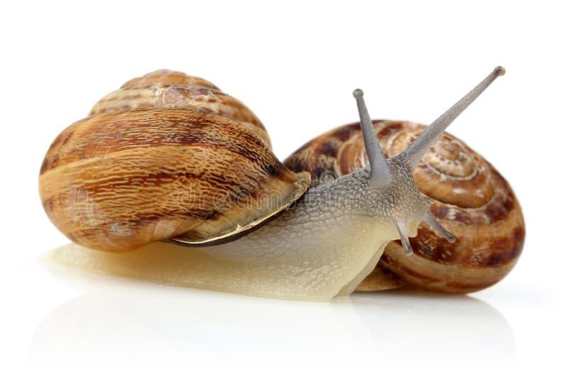 Snail crawling isolated on white stock photo