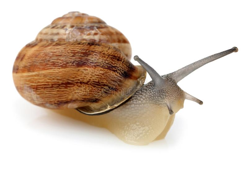 Snail crawling isolated on white royalty free stock photography