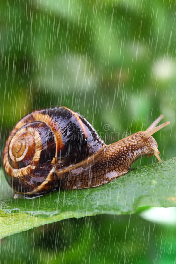 Snail crawling on leaf with rain royalty free stock image