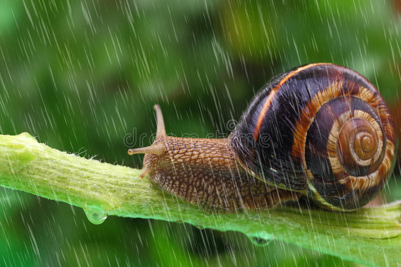 Snail crawling on plant with rain stock photos