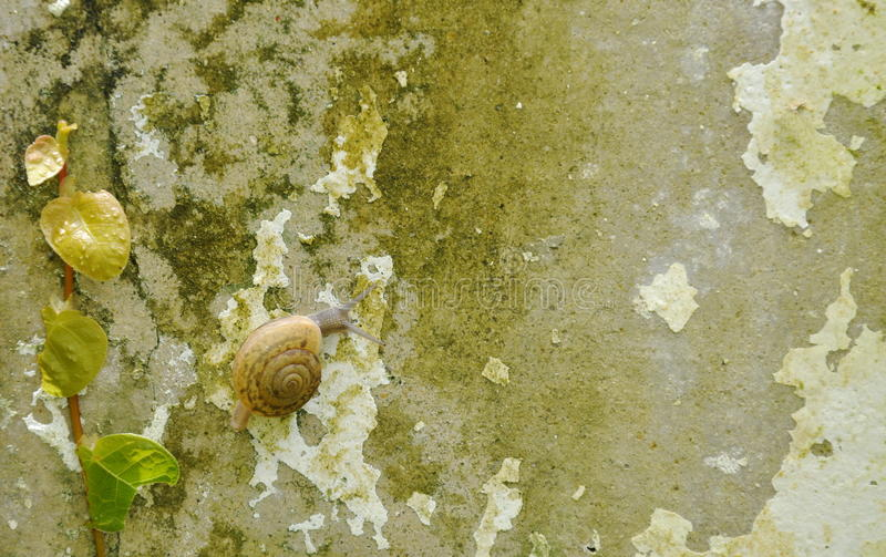 Snail crawling slowly beside Mexican daisy on wall royalty free stock photography