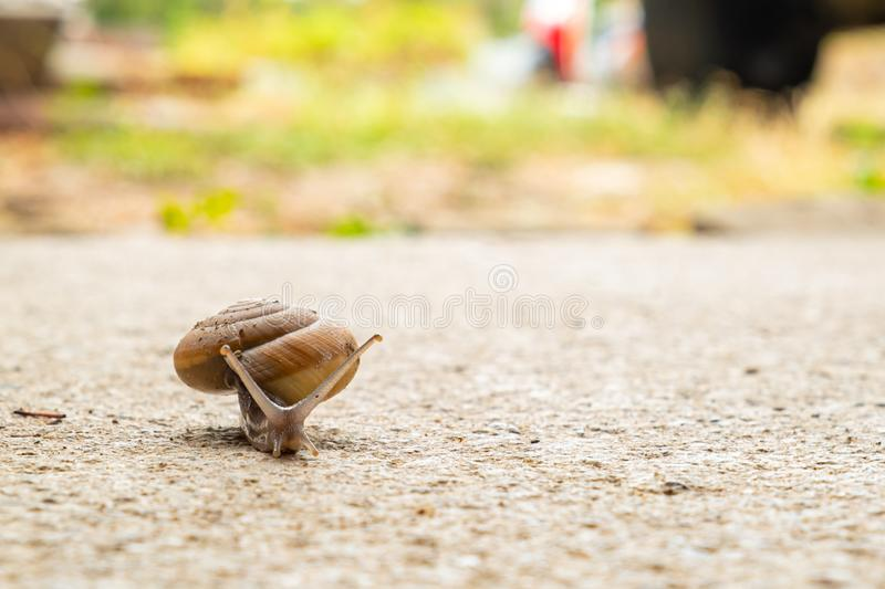 Snail crawling slowly on the rough cement floor. Helix pomatia, snail crawling slowly on the rough cement floor with patience expressing its resistibly efforts stock photo