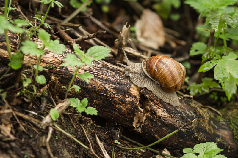 Snail crawling on a tree branch in the forest. Small brown snail climbs up a tree branch among the leaves and summer green grass royalty free stock image