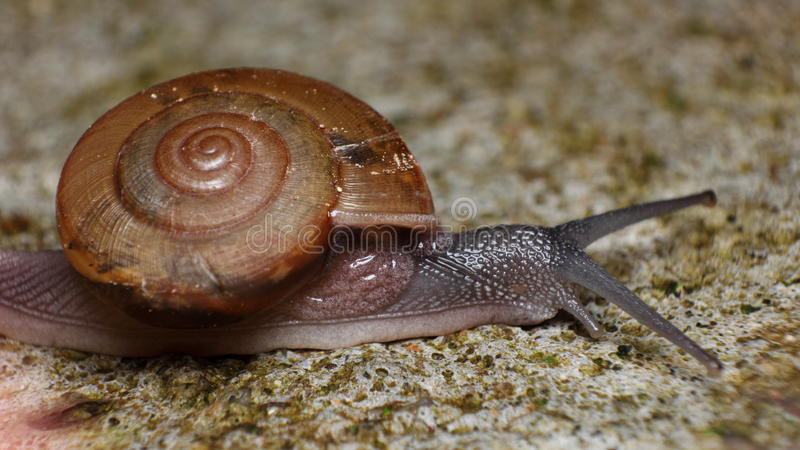 Snail crawling very slowly stock photos