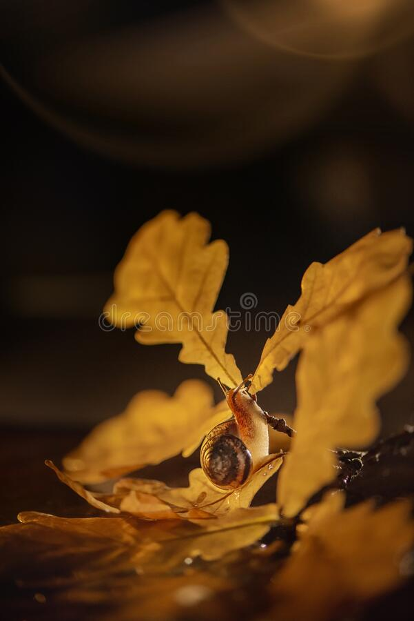 Snail crawls on the branch of an oak tree. The snail crawls on the branch of an oak tree royalty free stock photo