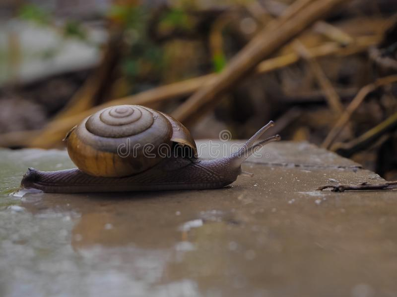 Snail in the near term royalty free stock image