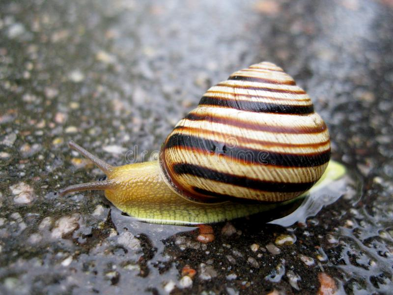 Snail on the Rain. The snail crawls and the rain comes. The snail does not understand at all What you can climb into your house. And the rain pouring out royalty free stock photos