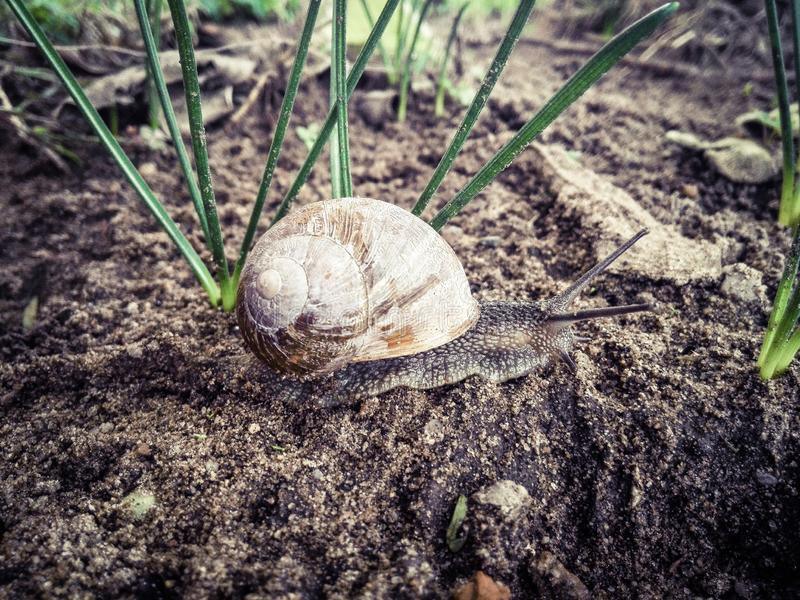 The snail crawls on the wet ground. Can be used with similar image no. 130460106 royalty free stock photos