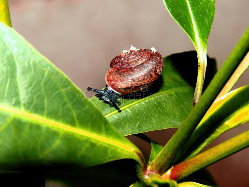 Snail creeping slowly on the leaves royalty free stock image