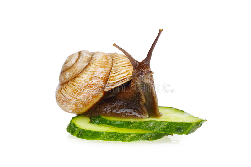 Snail and cucumber. Snail sitting on slices of cucumber, isolated on white royalty free stock image