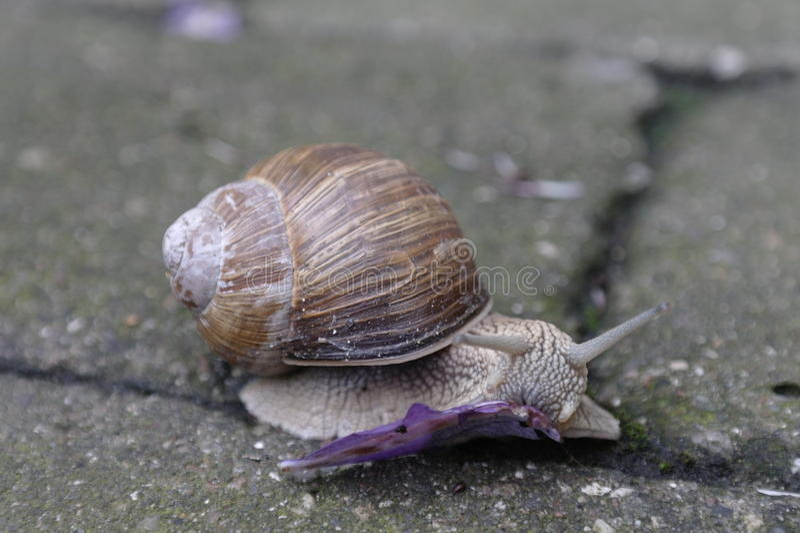Download Snail Eating Royalty Free Stock Image - Image: 31335536
