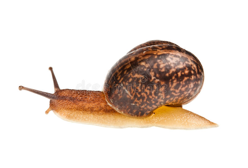 Download Snail (edible snail) stock photo. Image of slimy, snail - 14686252