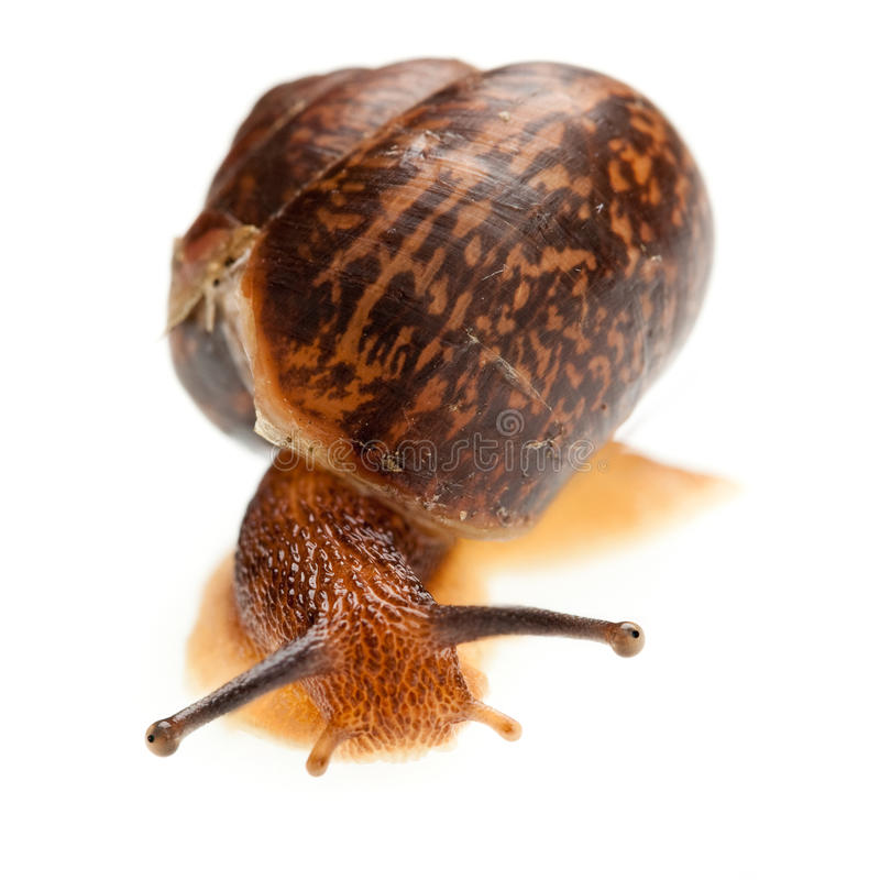 Download Snail (edible snail) stock image. Image of sliding, isolated - 15369787