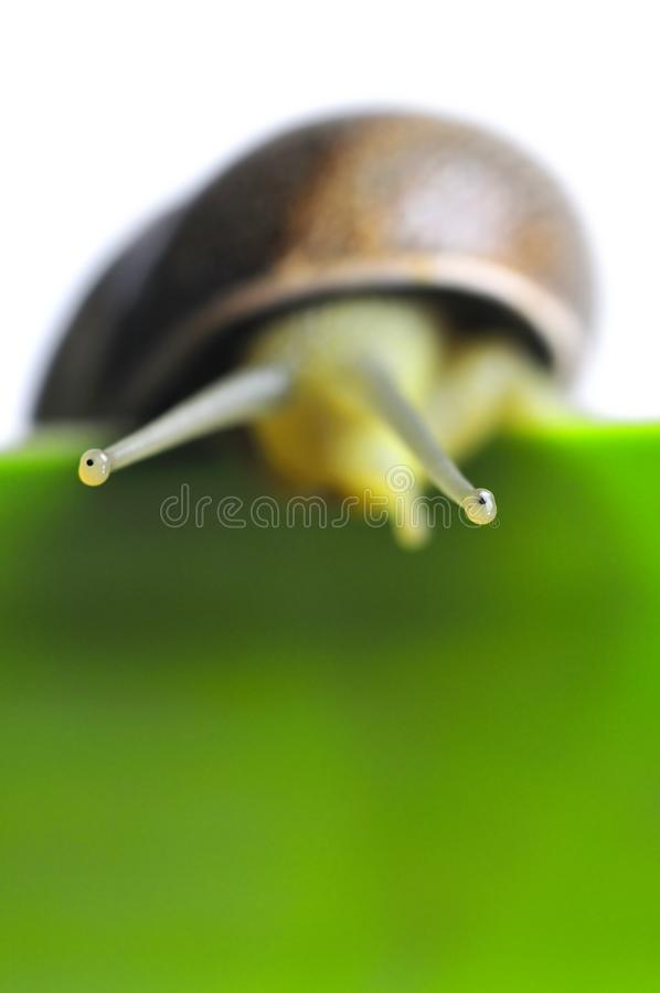 Download Snail Eyes Macro Royalty Free Stock Image - Image: 14254706