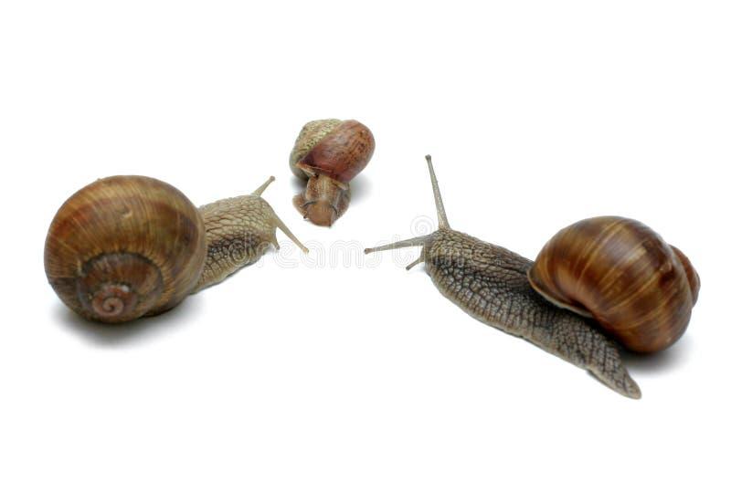 Snail Family royalty free stock photography