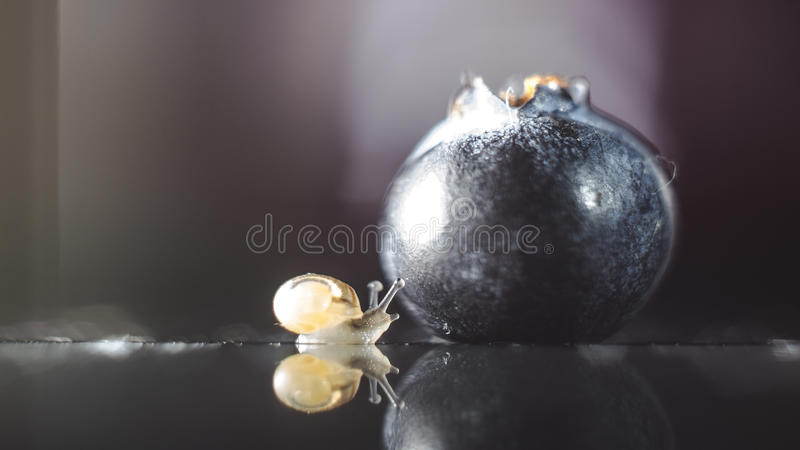 Snail finding blueberry stock photos