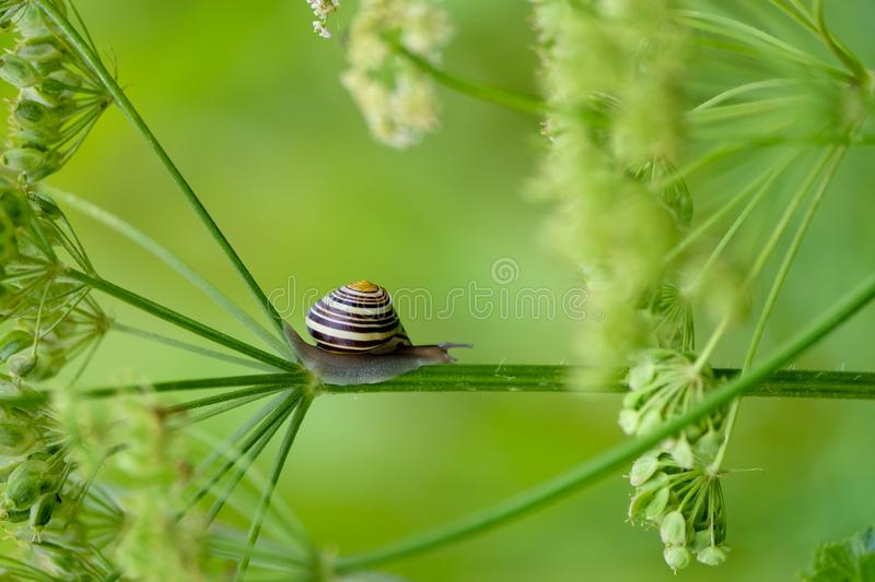 Snail at the flowers. A snail is moving over the stem of the white flowers at the nature area in Nijmegen, the Ooijpolder. A focussed close-up of the snail with royalty free stock image