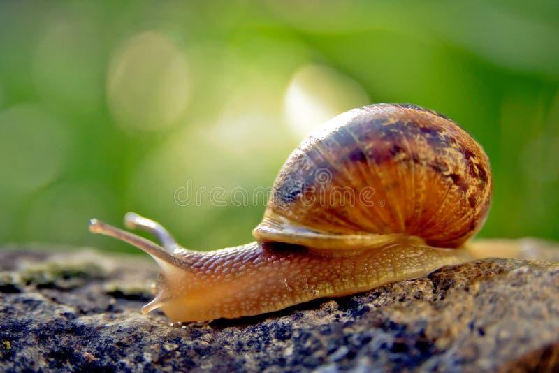 Snail in a garden royalty free stock photos