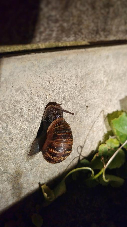 Snail in the garden. Macro shot of a snail with shell on a wall in the garden at night stock images