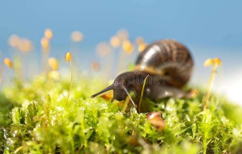Snail in the garden. Snail photo. Macro close-up blurred green background. Selective focus royalty free stock photo