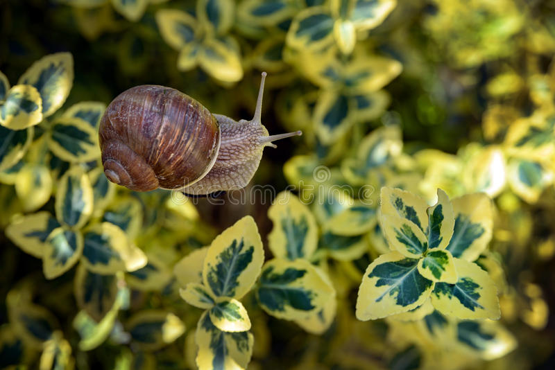 Snail in garden among yellow leaves royalty free stock images