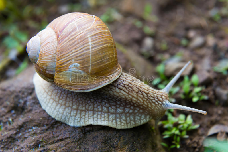 Snail gastropod mollusk with spiral sheath. On natural blurred background close-up. Top view stock photography