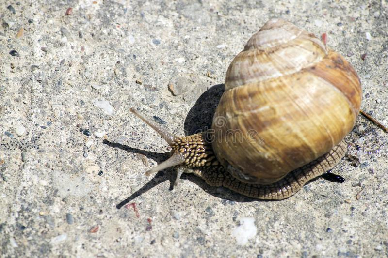 Snail gliding on the stone texture.  royalty free stock photography