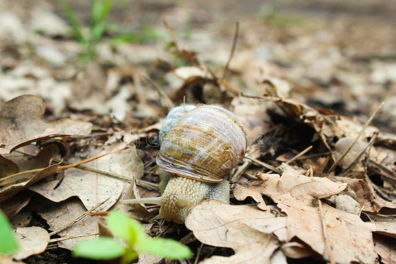 Snail gliding on the wet grass texture. Large white mollusk snails with light brown striped shell, crawling on moss. Helix pomatia stock images