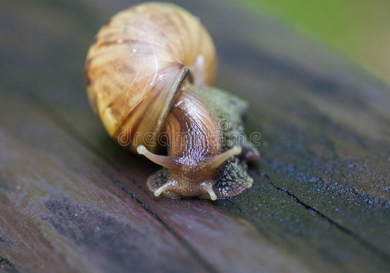 Snail gliding on the wet wooden texture. Large mollusk snails with light brown striped shell, Helix pomatia, Burgundy. Snail, Roman snail, edible snail royalty free stock photo