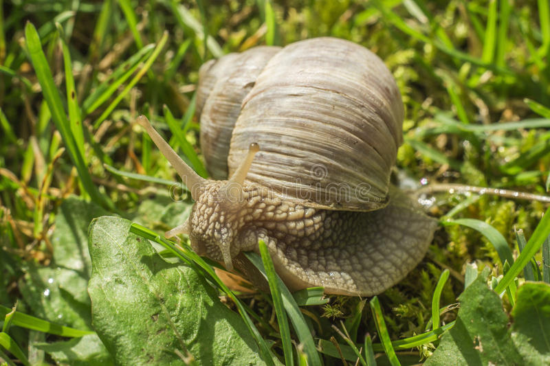 Snail in the grass. Garden snail in the grass royalty free stock image