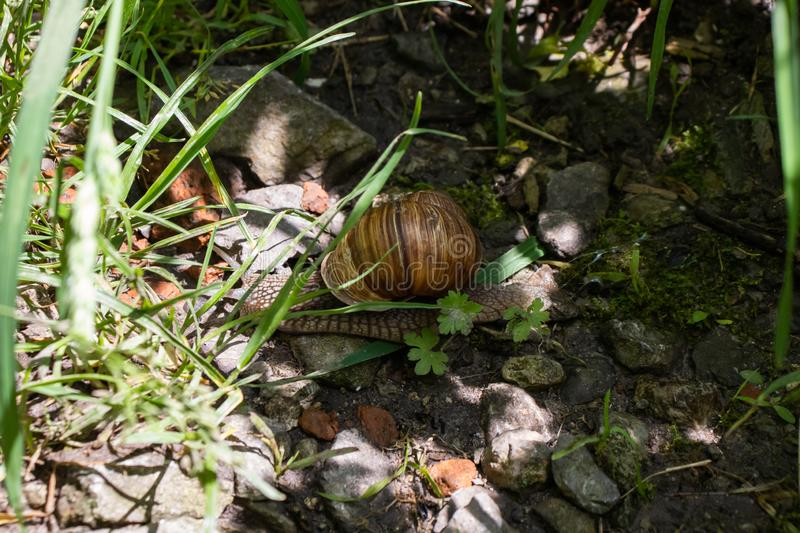 Snail in the grass. Among the pebbles royalty free stock image