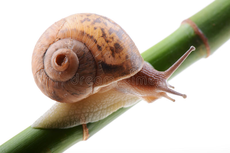 Snail on a green bamboo stem. Small brown snail on a green bamboo stem stock images