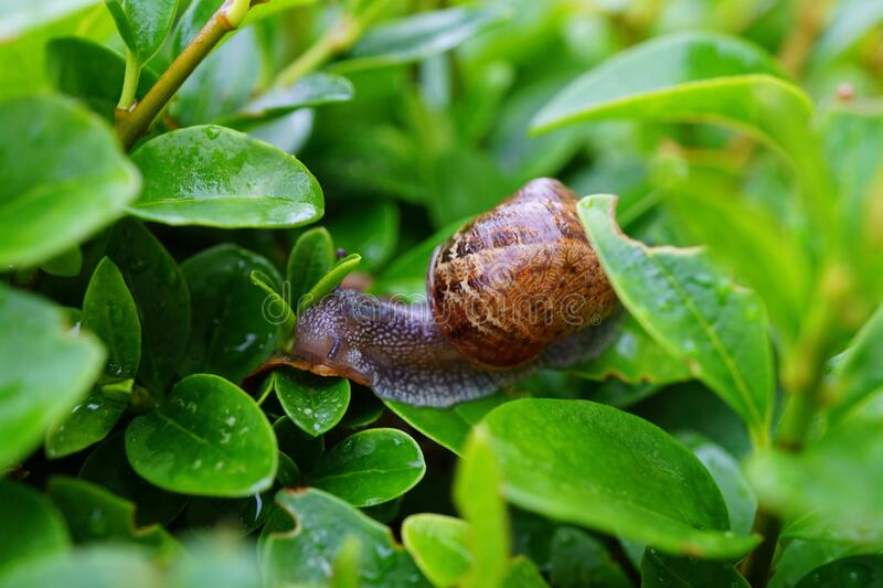 Snail on Green Leaf in Close Up Photography royalty free stock images